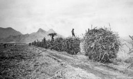Small flat cars piled high with sugarcane-(Smithsonian)