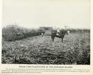 Sugar harvesting