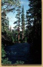 Sugar pine (Pinus lambertiana Douglas)