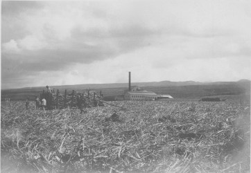 Sugar_Cane_field-UH-Manoa-Digicoll-1900