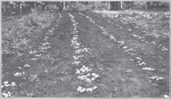 Upcountry Potatoes-Ag Experiment Stn-1913