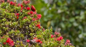 Waikamoi-'Apapane feed on the nectar of the 'ohi'a lehua_TNC