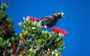 Waikamoi- 'akohekohe, a bird found only in East Maui-TNC
