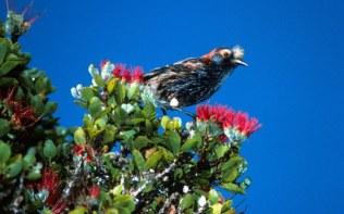 Waikamoi- 'akohekohe, a bird found only in East Maui-TNC