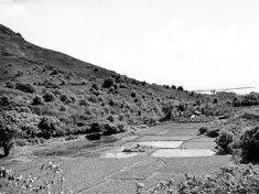 Waikane_Loi_Kalo-BM-1940