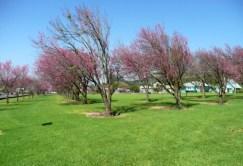 Waimea_Cherry_Blossoms-(clarkhawaii-com)