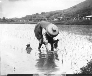 Windward_Rice_Planting