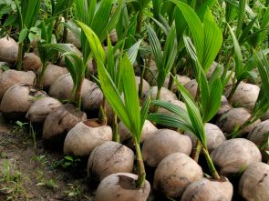 baby_coconut_trees