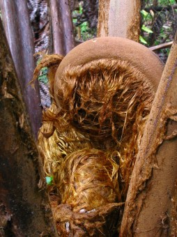 cibotium_species-tree fern-pulu