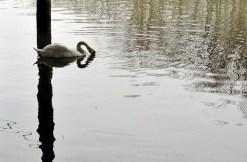 heart-swan