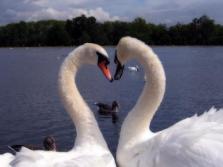 heart_swans