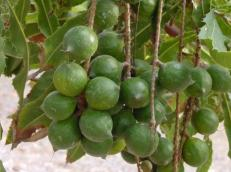 macadamia-bunch
