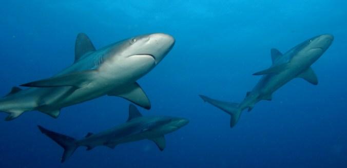 sharks-NOAA