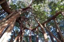 banyan circle above