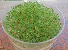 asian salad sprouts