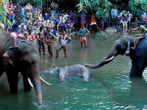 India: Pregnant elephant dies in Kerala after being fed pineapple ...