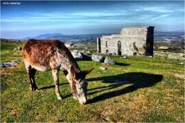"""Bucólica imagen de la ciudad romana de Acinipo, en cuyo recinto todavía pueden verse animales como este hermoso burro. En la ampliación de la imagen se aprecia la cercanía de Setenil. Foto: PEROTA5. Más fotos suyas en este enlace de Flickr http://goo.gl/TvHHfc Para saber más sobre su pasado agrícola podéis ver este enlace de Imagina Setenil: """"Cuando la ciudad romana de Acinipo era un campo de labranza"""" http://goo.gl/DVJiVB"""