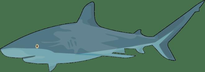 Barry-Brunswick-Fun-Facts-About-Sharks-Bull-Shark