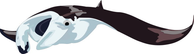 Barry-Brunswick-Fun-Facts-About-Sharks-Manta-Ray