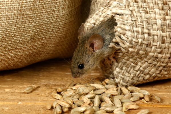 get-rid-of-rodents