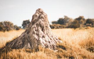 ant-termite-mound-termidor