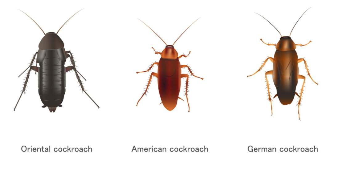 types-of-cockroaches