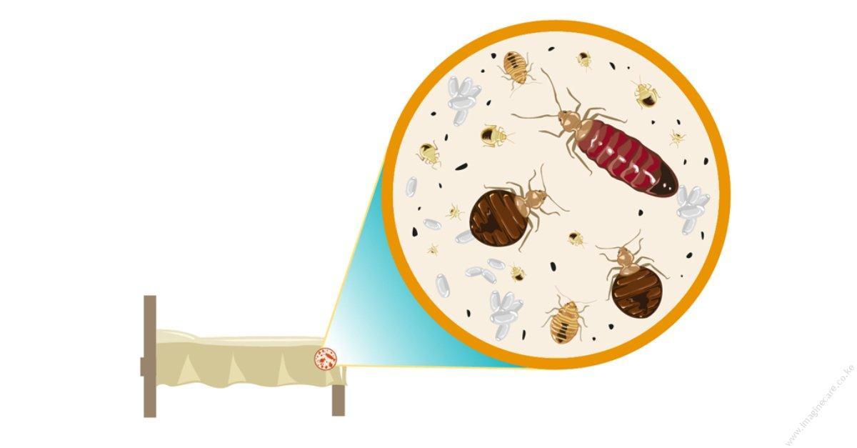 Bed Bugs: Fact Vs. Myth