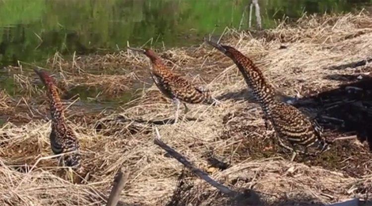 documentários do restage de flora e fauna na UHE Mauá