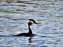 Great Crested Grebe 1024x768