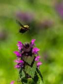 Colibri Insect