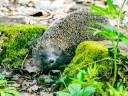 Hedgehog Menace