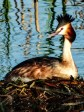 Great Crested Grebe 5