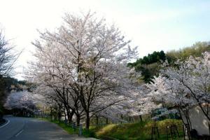 今子浦園地の桜