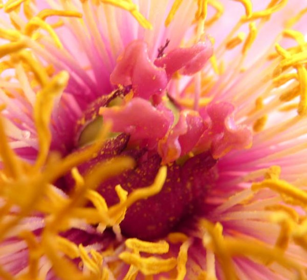 macro photograph ofpink flower with yellow stamenswith