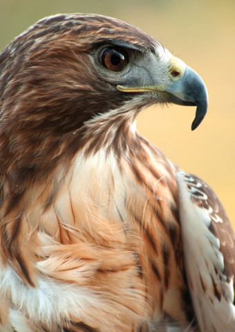 RedHawk_Brochure_Hawk
