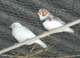 Hembra (Blanca) y macho (gris). Diamantes mandarines