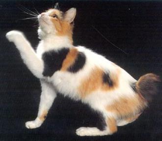 Gato bobtail japones