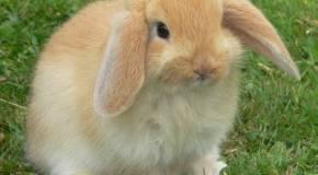 Consejos para tener un conejo en el hogar
