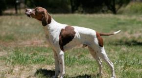 Pointer, un perro excelente para cazar