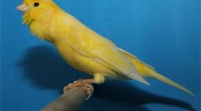 La belleza de tener un canario