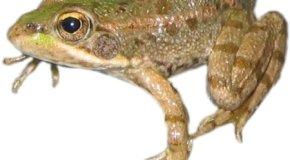 Claves para tener una rana como mascota