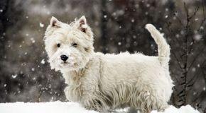 Adquirir cachorro de Westy en internet y de calidad