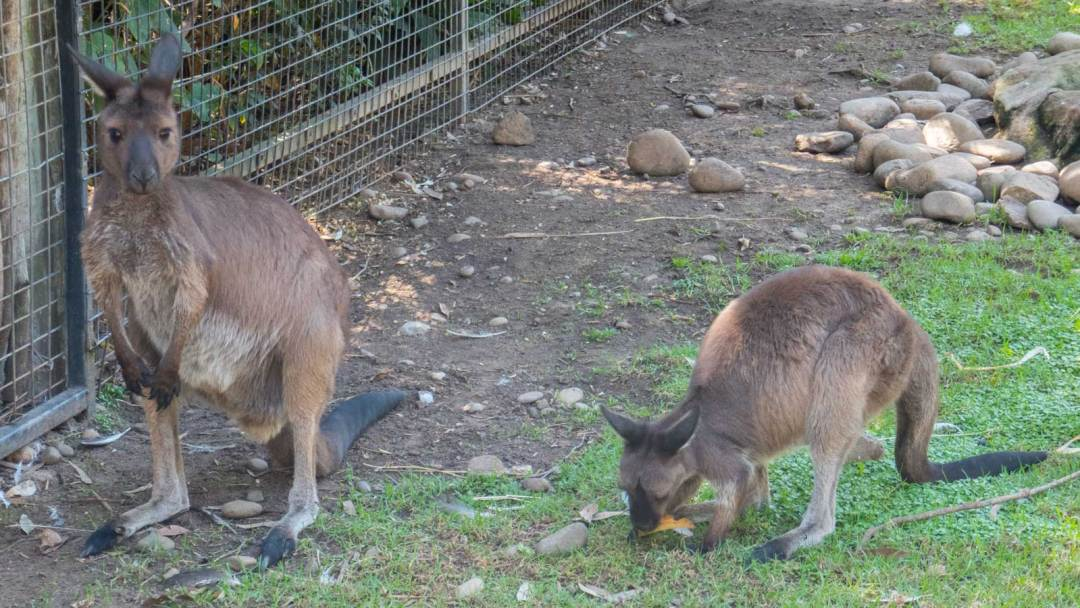 Kangaroos at Featherdale Wildlife Park Sydney Australia