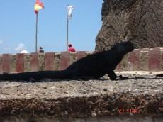 Iguana in the Galapgos