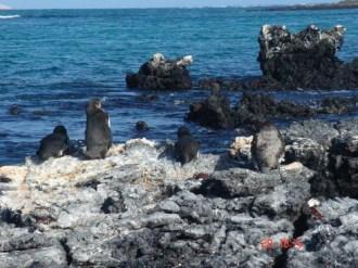 More Penguins Galapagos