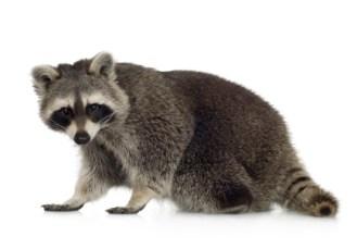 racoon (1)