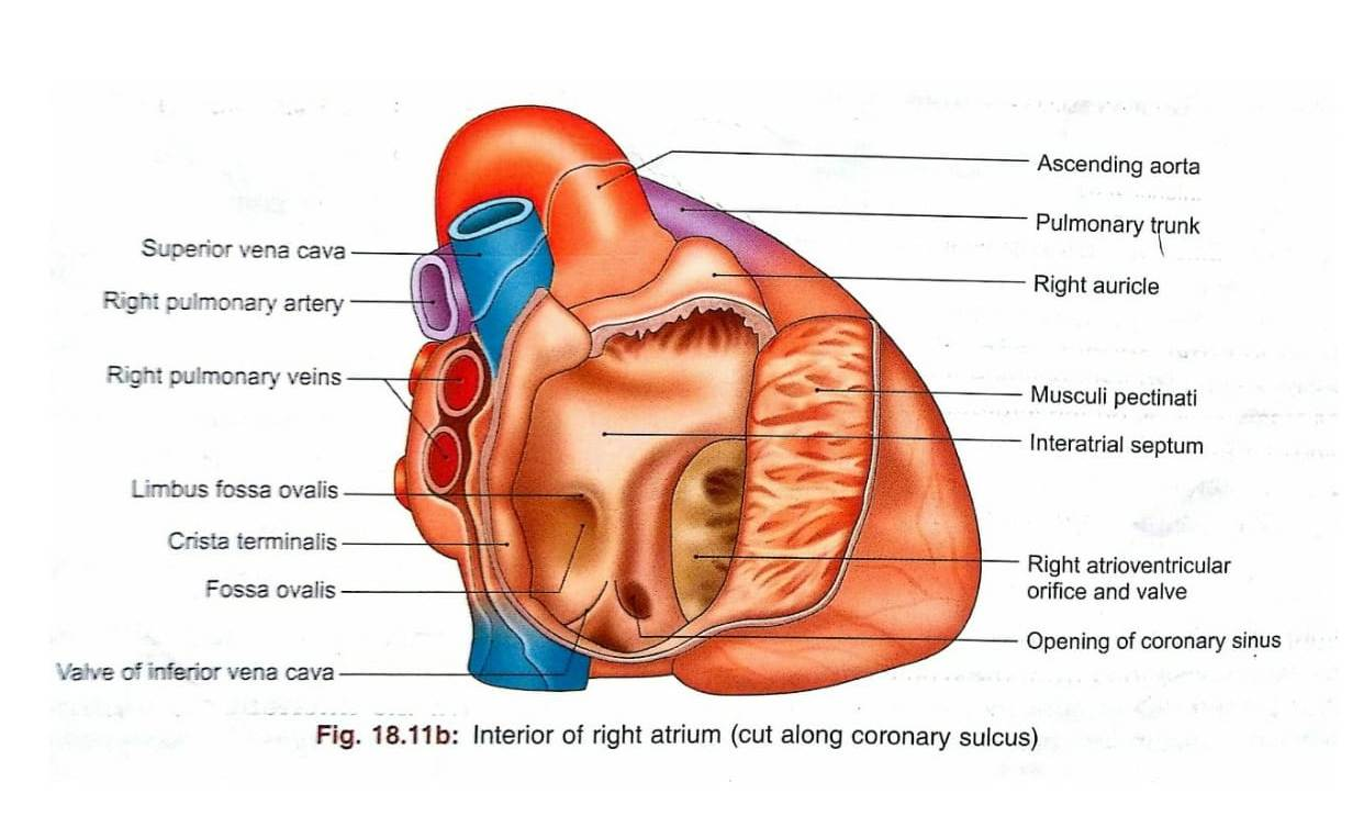 Right Atrium - imedscholar