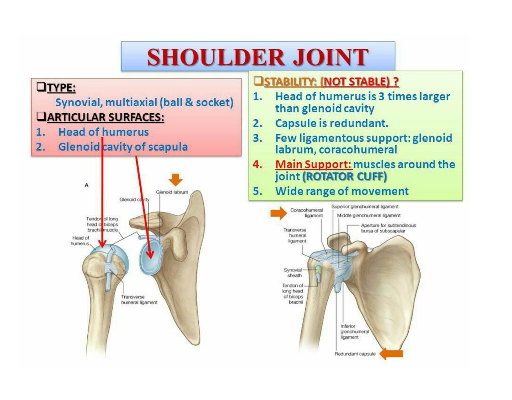 Shoulder Labrum Anatomy Choice Image - human anatomy diagram organs