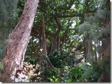 plants-trees-shrubs-flowers-hawaii-honolulu-zoo (6)