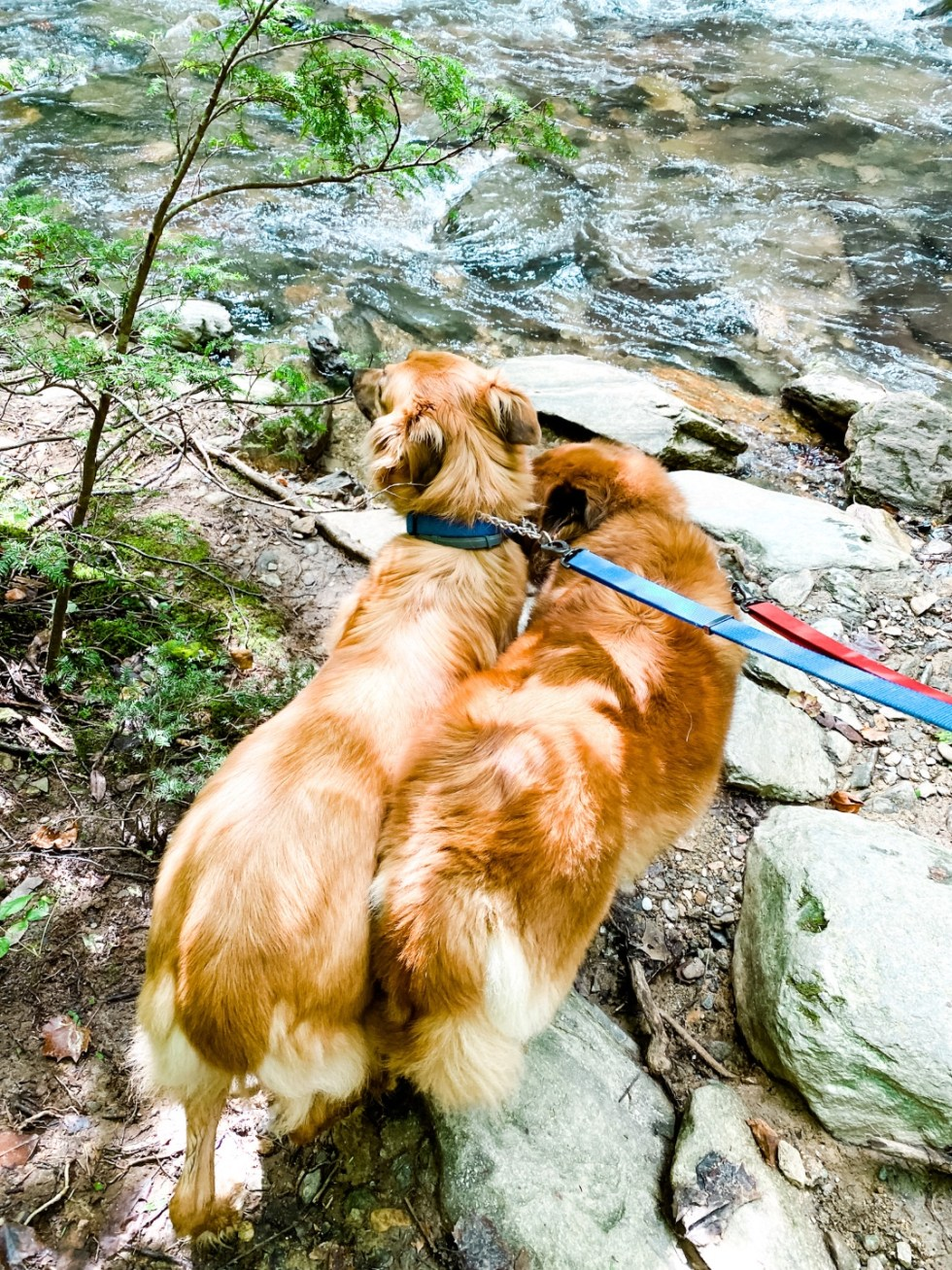 A Casual Weekend in Asheville: the Best Things to Do with your Dogs - I'm Fixin' To - @mbg0112   Weekend In Asheville by popular NC travel blog, I'm Fixin' To: image of two dogs standing next to a river.